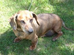 Fifi, chien Teckel