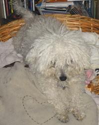 Fifi, chien Bichon à poil frisé