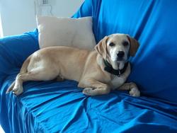 Fifi, chien Colley à poil court
