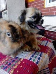 Fifi, chien Caniche