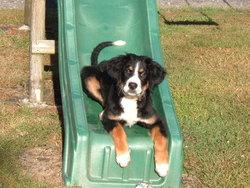 Fifi, chien Bouvier bernois