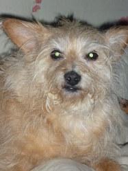 Fifi , chien Pinscher