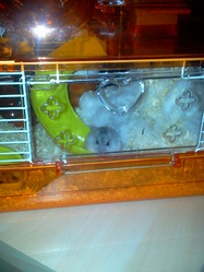 Fifi, rongeur Hamster