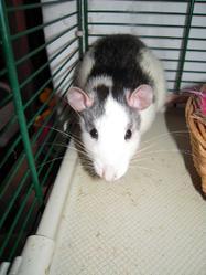 Fifi, rongeur Rat