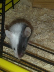 Fifille, rongeur Souris