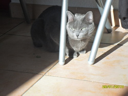 Fifille, chat Chartreux