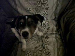 Fifou , chien Jack Russell Terrier