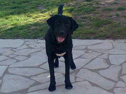 Fifty, chien Labrador Retriever