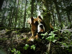 Fifty, chien Boxer