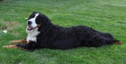 Figaro, chien Bouvier bernois