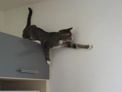 Figaro, chat Européen