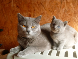 Figaro, chat Chartreux