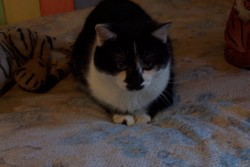 Figaro, chat Gouttière