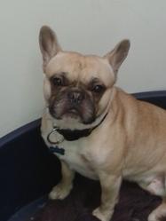 Figaro, chien Bouledogue français