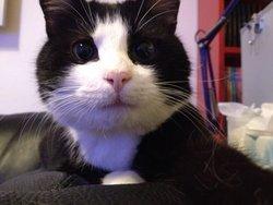 Figaro , chat Européen