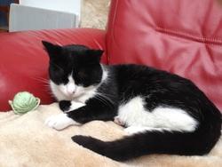 Figaro, chat American Shorthair
