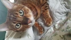 Figaro, chat Bengal