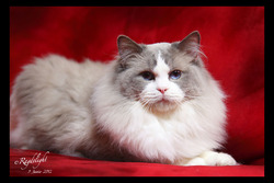 Figaro De Ragdelight, chat Ragdoll