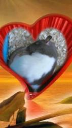 Figaro Décédé, rongeur Rat
