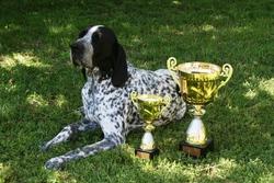 Figaro Des Hauts De Rouillac, chien Braque d'Auvergne