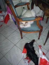 Figaro Du Petit Maine, chat Birman