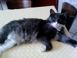 Figarro, chat Gouttière