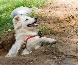 Figgy, chien Berger blanc suisse