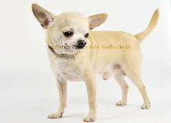 Fighter Bambi, chien Chihuahua