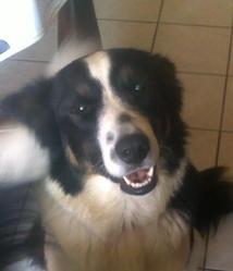 Figji, chien Border Collie