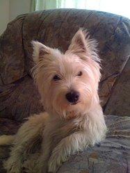 Figo, chien West Highland White Terrier