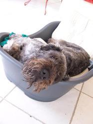 Figo, chien Bouvier des Flandres