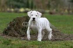 Figo, chien Dogue argentin