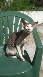 Figo Tino, chat Peterbald