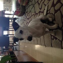 Figolu, chien Jack Russell Terrier