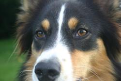 Fijy, chien Berger australien