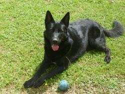 Fil, chien Berger allemand