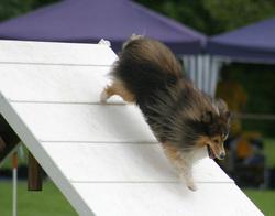 File Où  Décédé  à 16 Ans Et Demi, chien Berger des Shetland