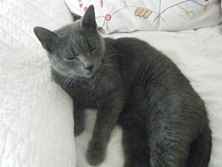 Filibert, chat Chartreux
