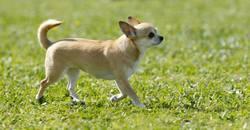 Filine De L'Arche De Cévenole, chien Chihuahua
