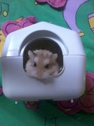 Fillouse, rongeur Hamster
