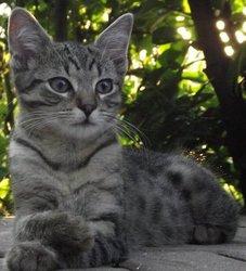 Filou, chat Européen
