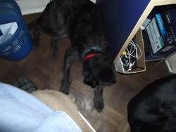 Filou, chien Griffon fauve de Bretagne