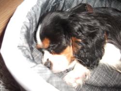 Filou, chien King Charles Spaniel