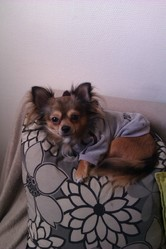 Filou, chien Chihuahua