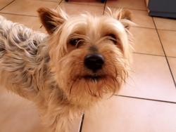 Filou, chien Silky Terrier