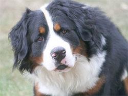 Filou, chien Bouvier bernois