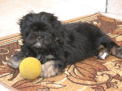 Filou, chien Shih Tzu