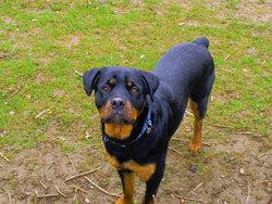 Filou, chien Rottweiler