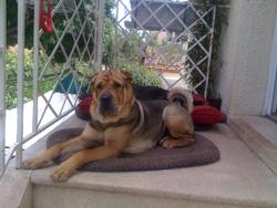 Filou, chien Shar Pei