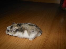 Filou, rongeur Hamster